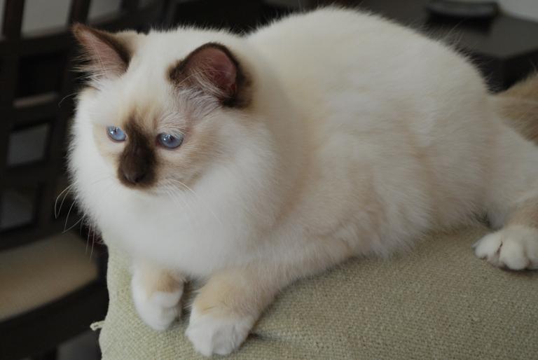 Colours Of The Birman Cat